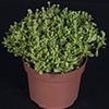 Crassula Radians 10.5 cm (2)