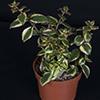 Crassula Sarmentosa Variagata 10.5 cm (3)