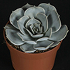 Echeveria lilacina 10.5 cm (3)