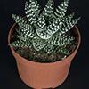 Haworthia margaritifera 10.5 cm (3)
