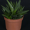 Haworthia pentagona 10.5 cm (2)