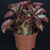Kalanchoe Pinatum 10,5 cm (2)