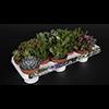Succulenten mix 10.5 cm (2)